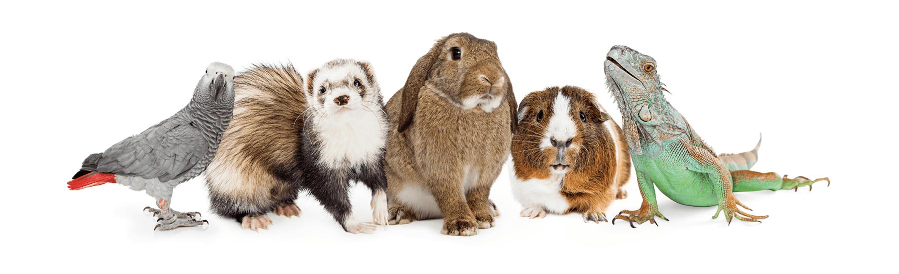 A parrot, ferret, rabbit, guinea pig, and lizard